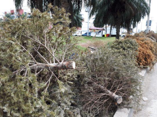 Unos 7 mil árboles navideños fueron recolectados por la AAUD