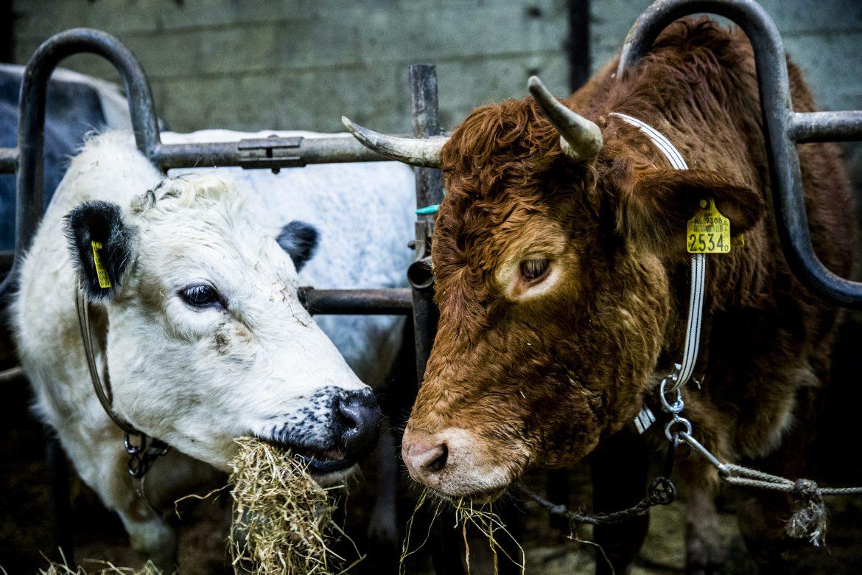 La vaca prófuga en Holanda trasladada a un santuario