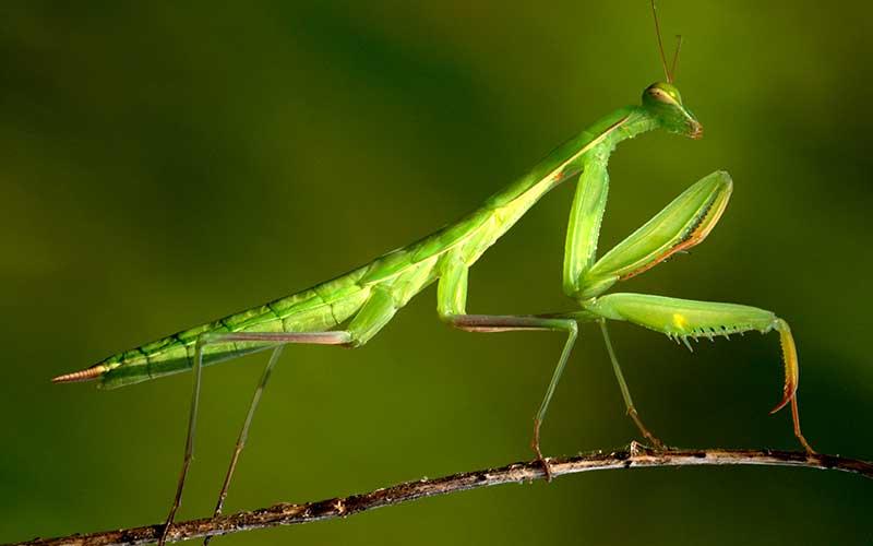 La mantis religiosa ve en tercera dimensión pero no como los humanos