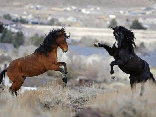 Todos los caballos salvajes están extintos, según estudio