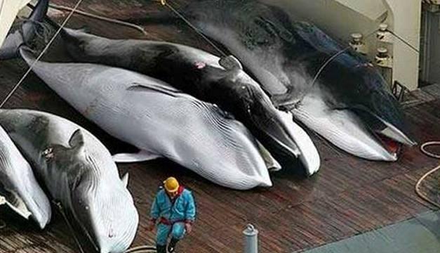 Pesqueros japoneses capturaron 122 ballenas preñadas