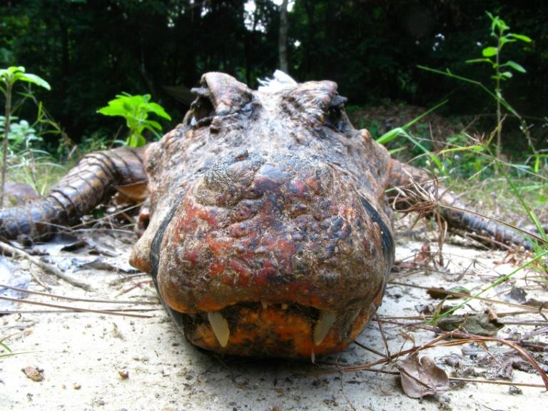 En Gabón, cocodrilos naranjas únicos en el mundo