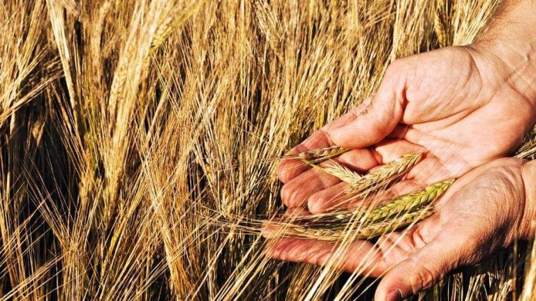 El trigo limita caída en Chicago en un mercado perturbado por la sequía