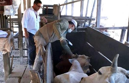 Por Brucelosis declaran 39 fincas en cuarentena,  y sacrifican 117 animales en Chiriquí