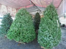 Llegaron los primeros árboles de Navidad