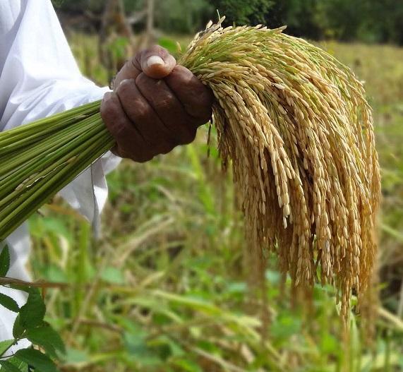 """Piden al IMA """"flexibilidad con parámetros de humedad e impureza"""" al recibir arroz"""