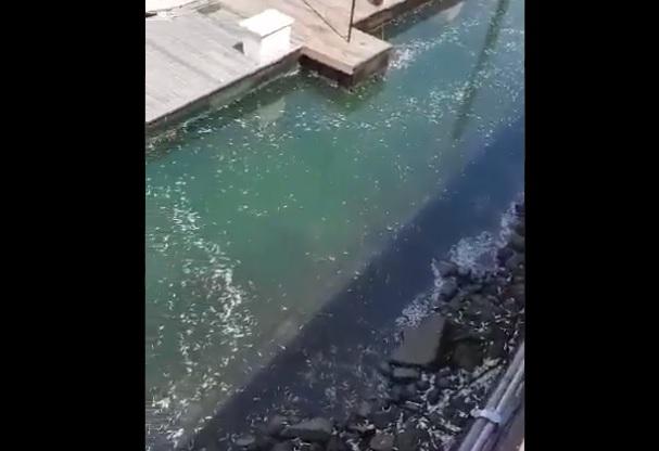 Sempris: mortandad de peces se debe a exceso de algas