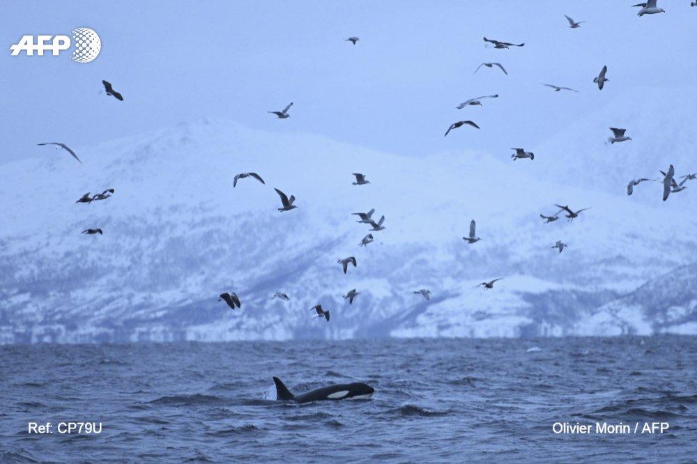 La gran migración de las orcas hacia el norte en busca de alimento