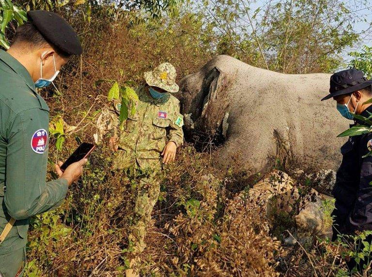 Un elefante hallado muerto en Camboya sin cola y sin colmillos