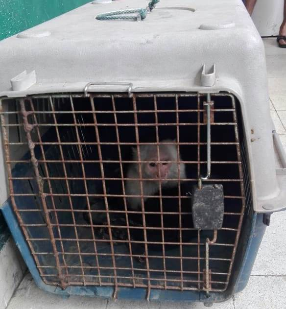 Decomisan un mono carablanca a una persona en Calidonia