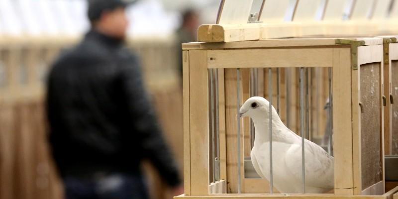 Subastan paloma mensajera en 1,25 millones de euros, un récord