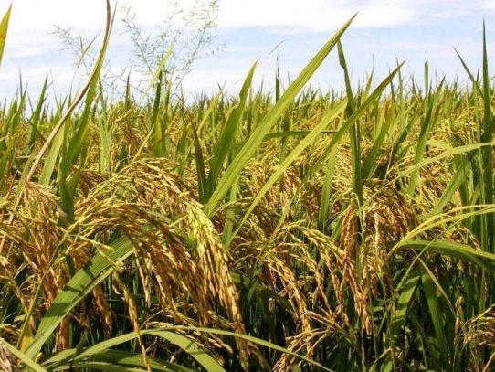Hay 4.1 millones de quintales de arroz para cubrir próximos 5.3 meses