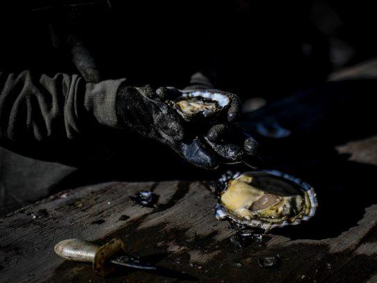 La ostra portuguesa vuelve a la vida tras décadas desaparecida