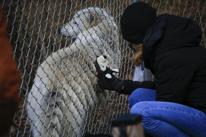 ¿Aullando al vacío? Recuperación del lobo estadounidense en peligro por Trump