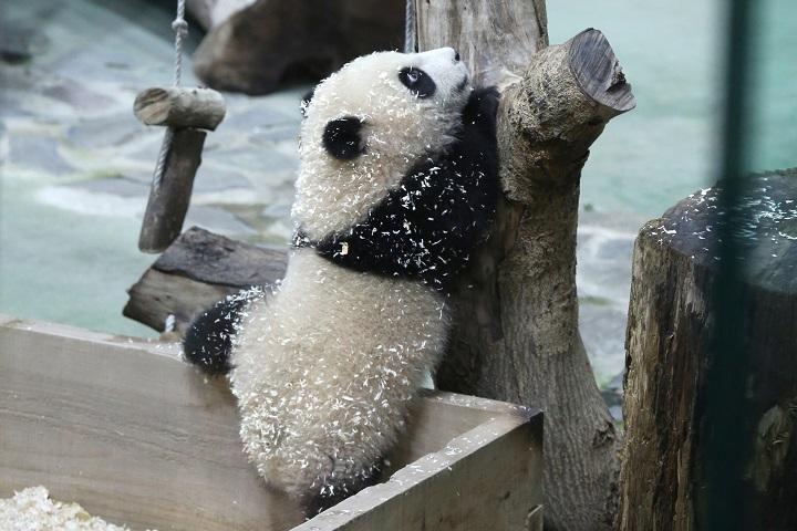 Uno de los últimos grandes pandas de Taiwán aparece por primera vez ante las cámaras