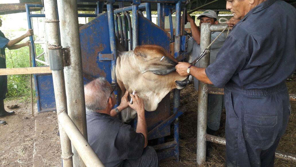 MIDA establece cordón zoosanitario para evitar la propagación de rabia bovina