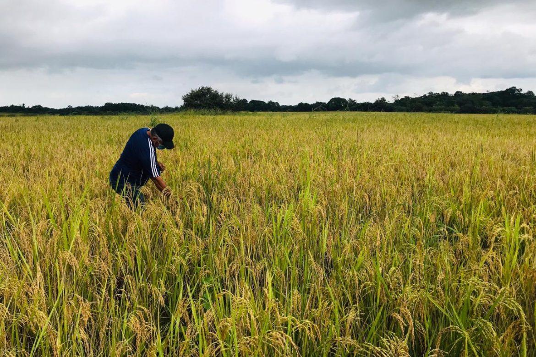 Gobierno analiza alternativas para mantener el precio del arroz