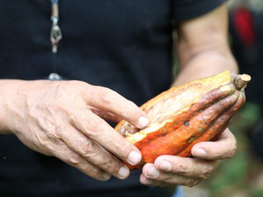 Potencian cacao panameño en competencia internacional