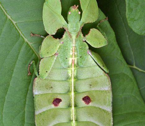 Él era un insecto palo y ella, un insecto hoja; juntos hicieron historia