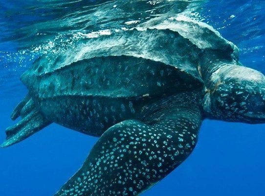 Hallan en Ecuador nido de la enorme tortuga laúd, especie en riesgo de extinción