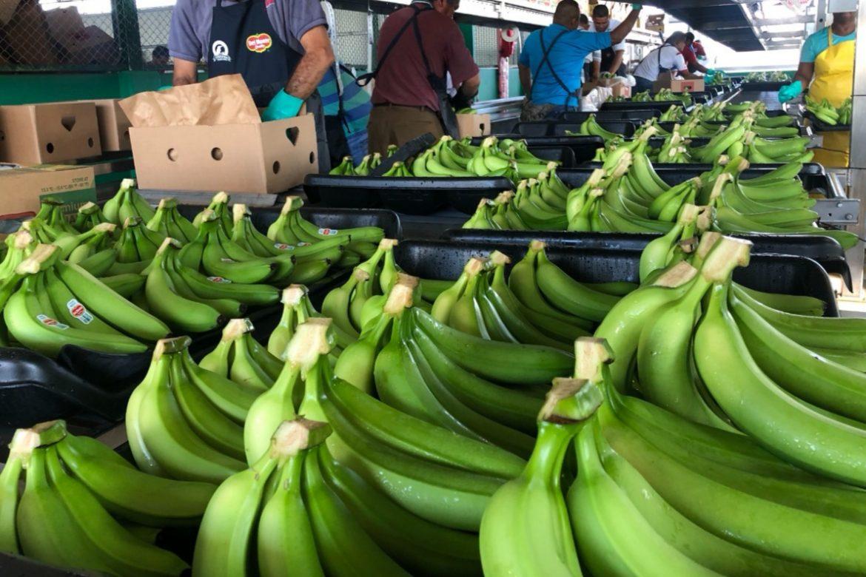 Producción y exportaciones de banano se incrementaron en el 2020