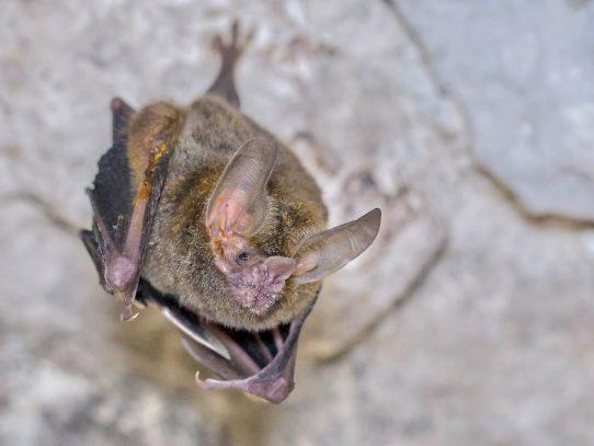 Smithsonian realiza primer estudio de niveles de testosterona en murciélagos machos