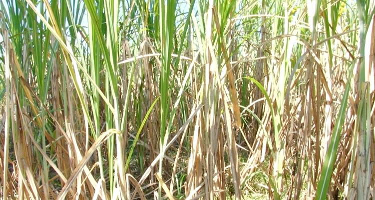 Inicia la zafra de caña y con ella la exportación de azúcar cruda