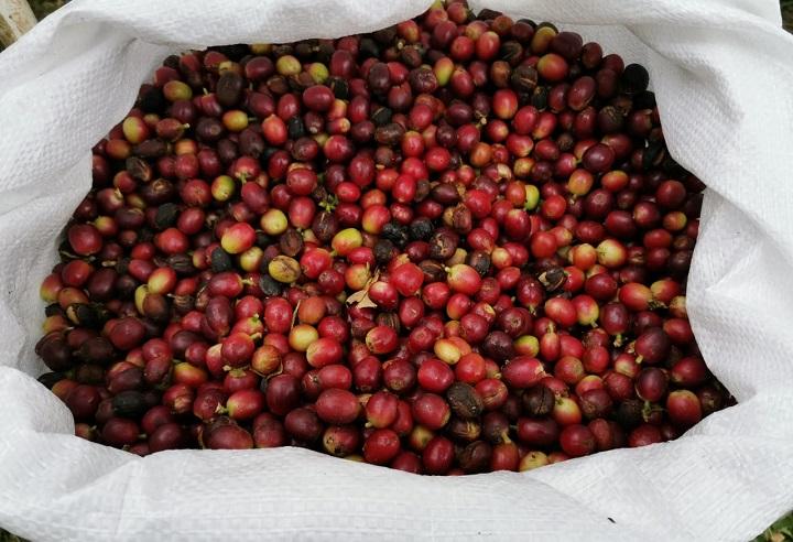 El MIDA recomienda nueva genética para el cultivo de café