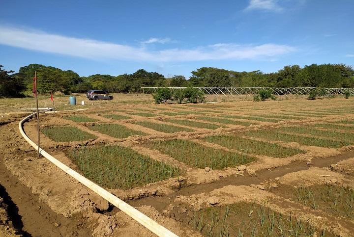 Coclé incrementará 30 hectáreas más de producción de cebolla
