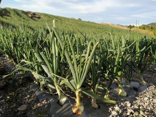 Cadena de cebolla acuerda importar 9 mil quintales para cubrir febrero