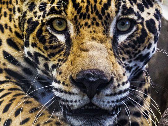 Más de mil especies en peligro de extinción hay en Panamá