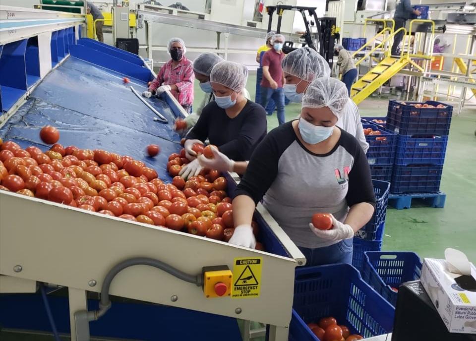 Productores chiricanos recibieron apoyo para la venta de tomates