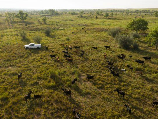 Una manera diferente de gestionar la tierra: que las vacas la apisonen