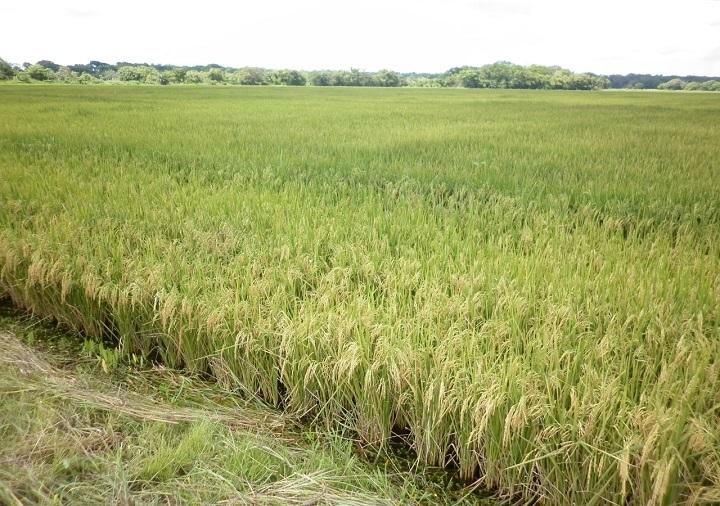 Productores de arroz recibieron más de B/. 57 millones en pagos de compensación