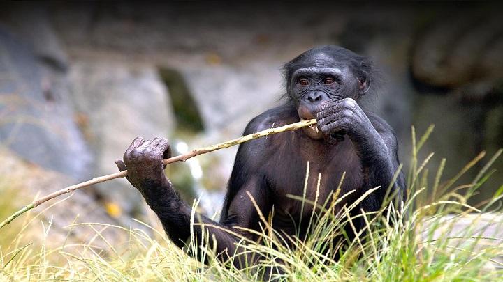 Primates de un zoológico de EE.UU. vacunados contra el covid-19