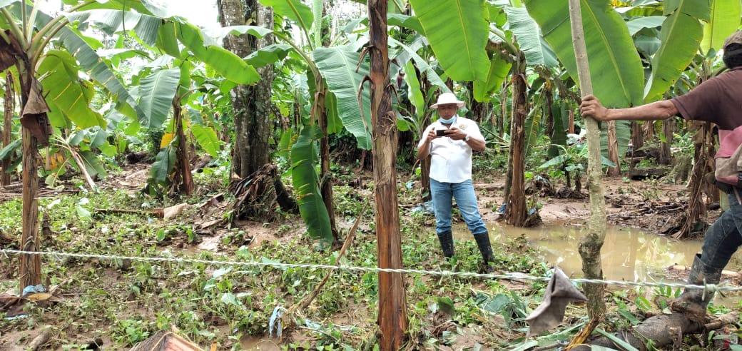 Gobierno comprará producción de plátanos en región afectada por lluvia