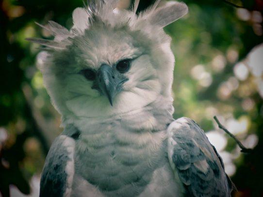 El Águila Harpía, en observación permanente por su majestuosidad