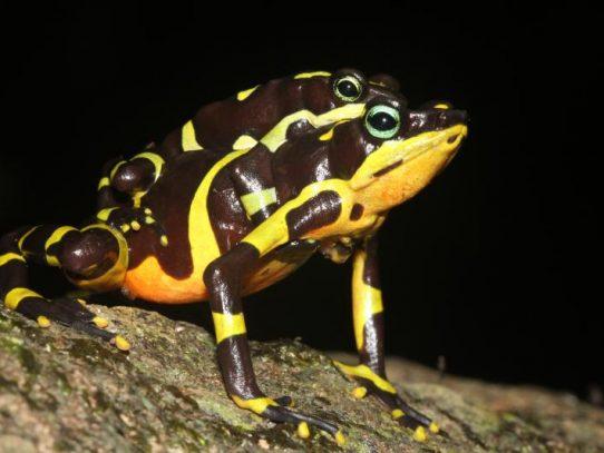 Descubierta en Panamá: nueva especie de rana