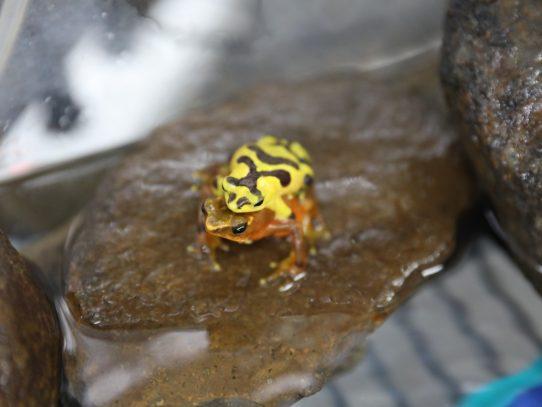 Más de 2 mil ranas encautiveriopara su preservación