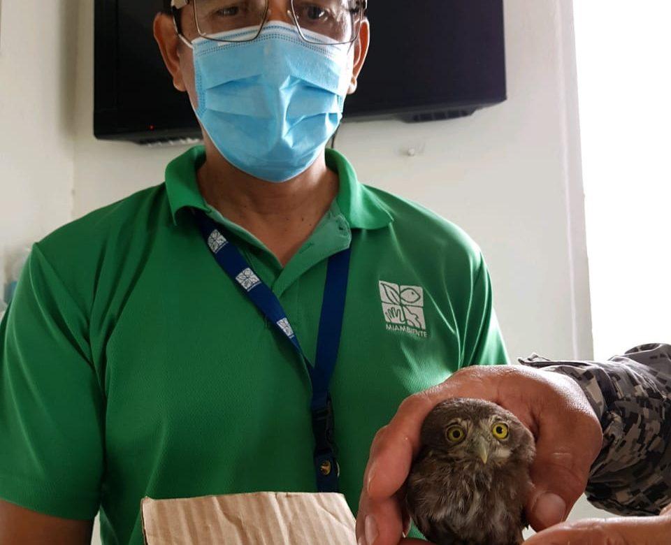Rescataron cría de búho en sector de Los Canelos, en Veraguas