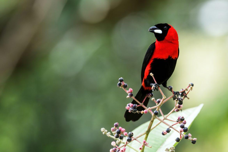 Algunas aves macho vuelan con colores falsos para atraer a sus parejas, según un estudio
