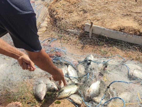 Inicia cosecha de tilapias en penal de Coclé