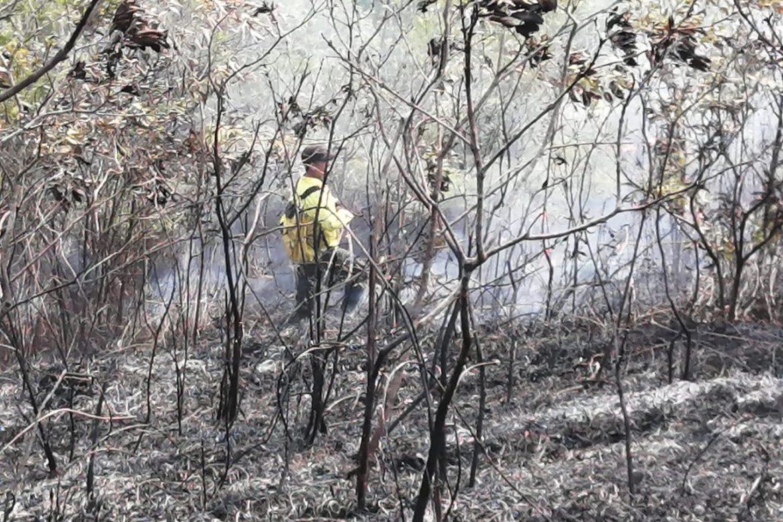 Incendio afectó plantación de pinos en Herrera