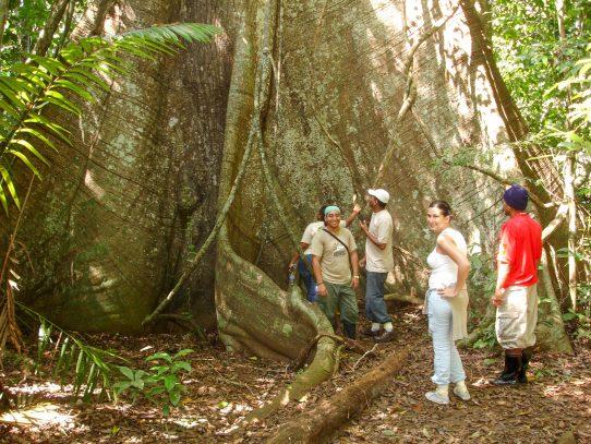¿Cómo responderán los árboles tropicales más grandes al cambio climático?