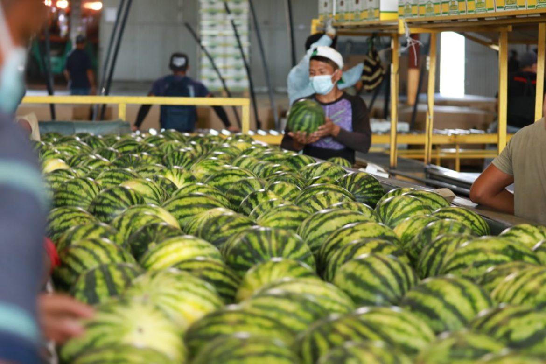 Aumenta la exportación de sandía en primeros meses del 2021