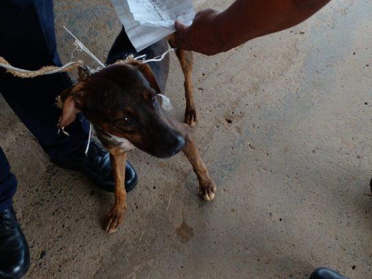 Primero un 'narcogato' ahora un 'perro mensajero' en cárcel panameña