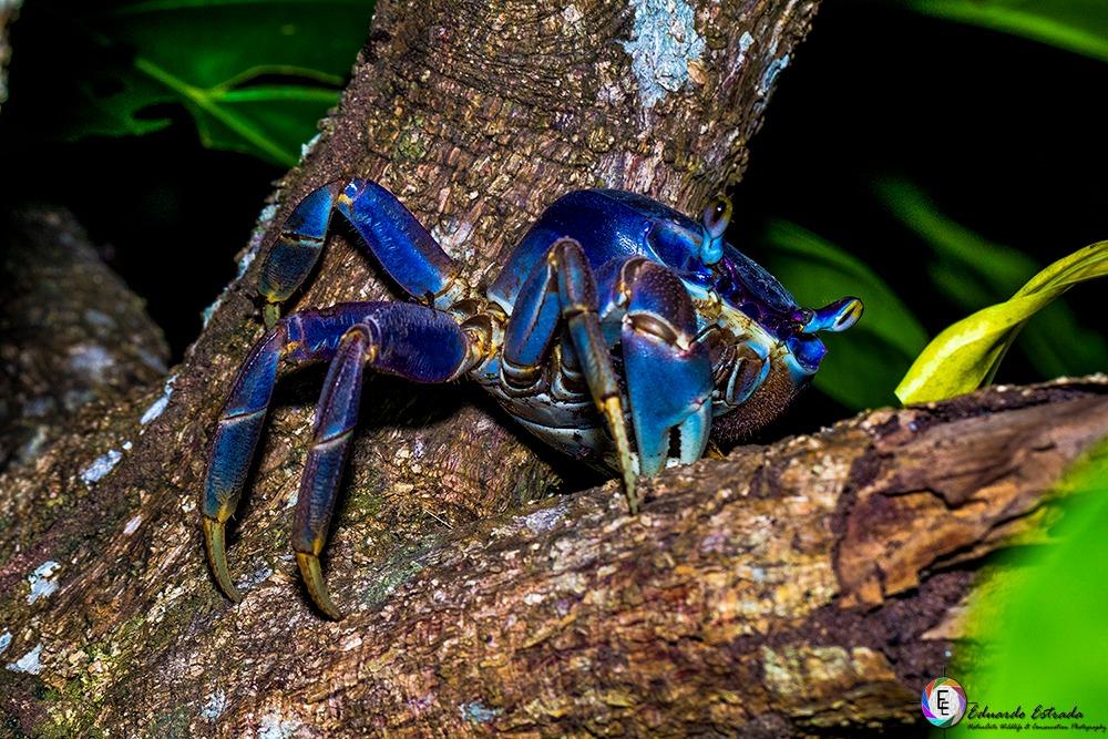 Se pide caza controlada de los cangrejos azules