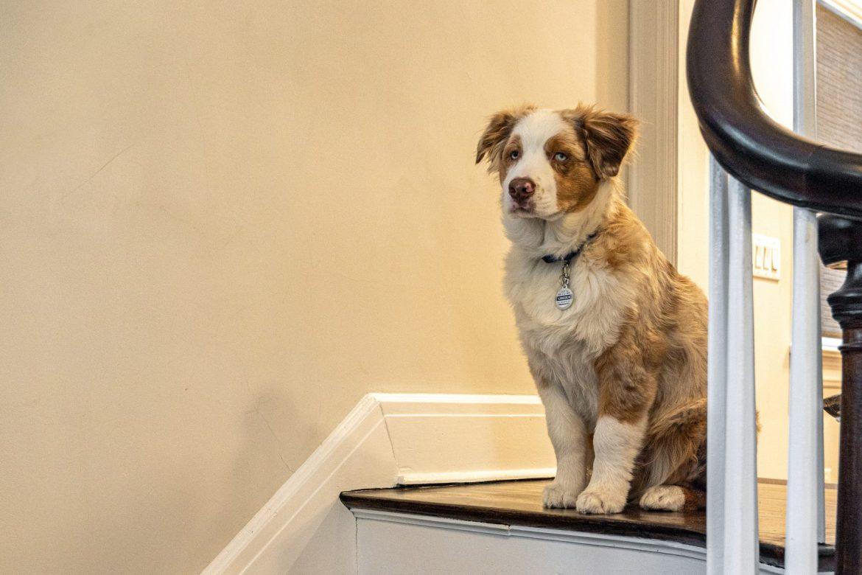 Los perros malhumorados salen mejor que los amigables en algunas pruebas de aprendizaje