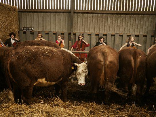 Cuando los violonchelos tocan, las vacas se relajan