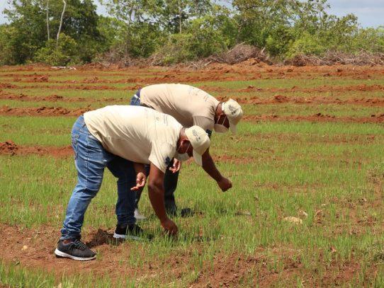 La Joya, primer penal del mundo en implementar la producción de arroz bajo en carbono